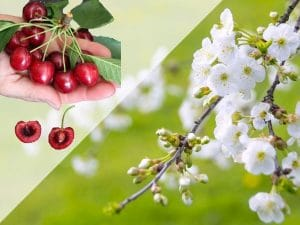 Cerisier geant d'hedelfigen