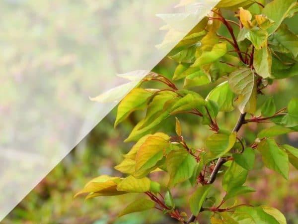 Pecher arbre fruitier